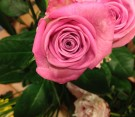 """Rose olandesi """"aqua"""""""