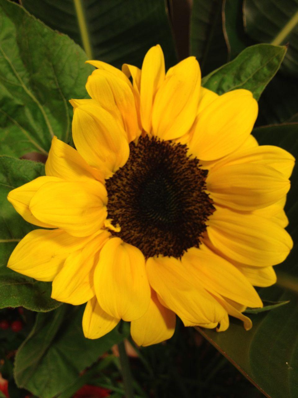 Matrimonio Fiori Girasole : Elisabetta fiori e piante girasole