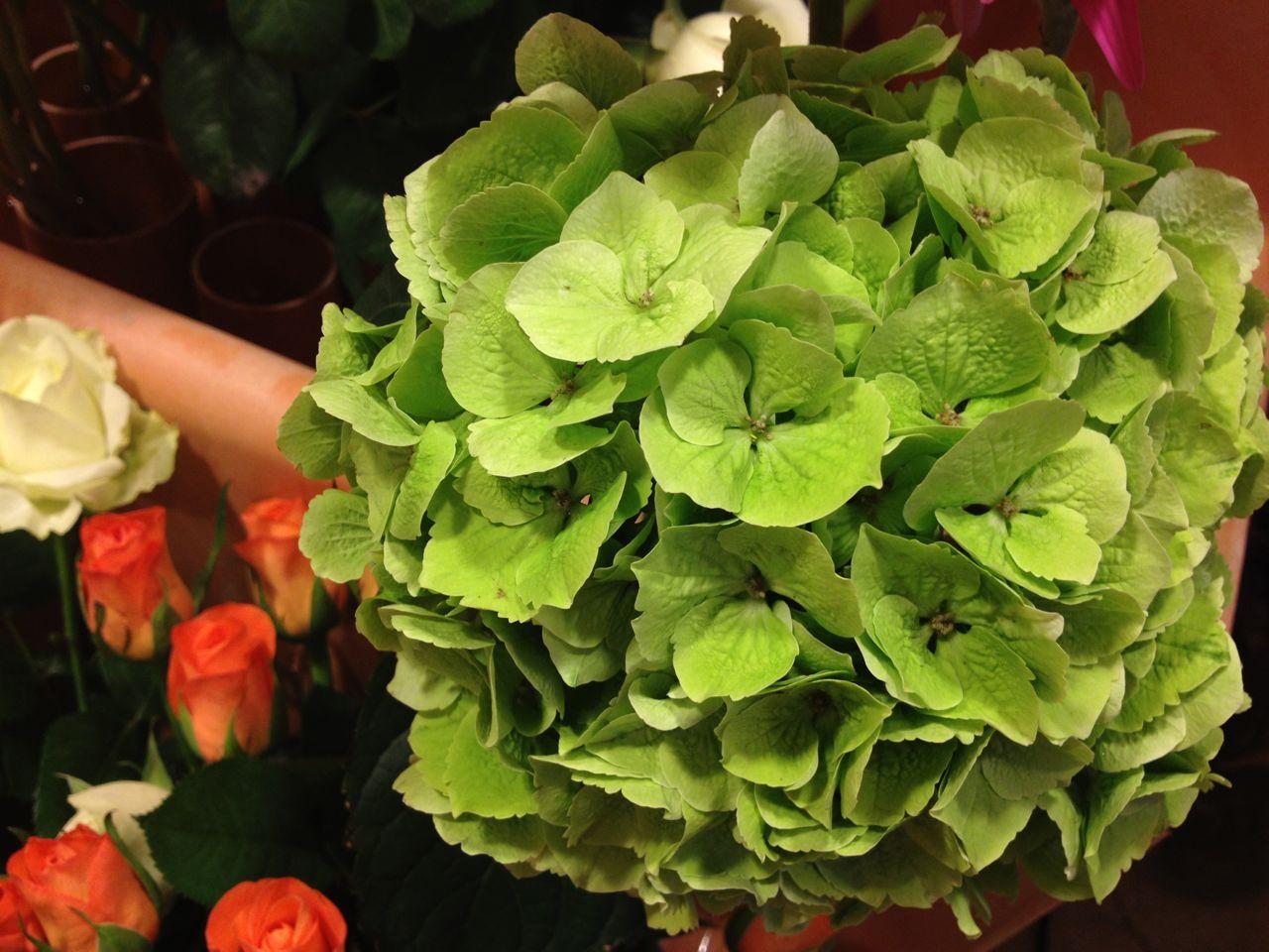elisabetta fiori e piante ortensia verde