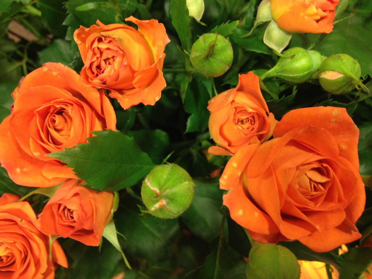 Elisabetta fiori e piante rose arancioni for Rose piante