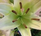 Lilium bianco